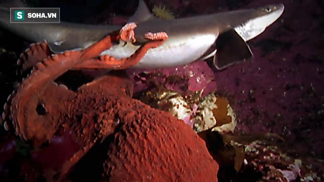 Vốn là con mồi của cá mập nhưng bạch tuộc lại tấn công và ăn thịt cả kẻ thù - Ảnh 1.