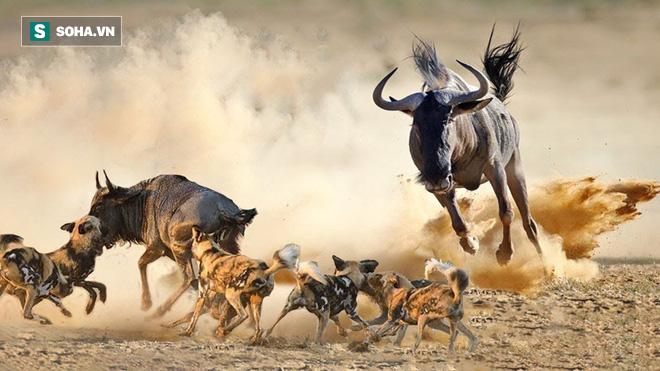 Linh dương mẹ bất khuất hạ cả bầy chó hoang khát máu để cứu con - Ảnh 1.