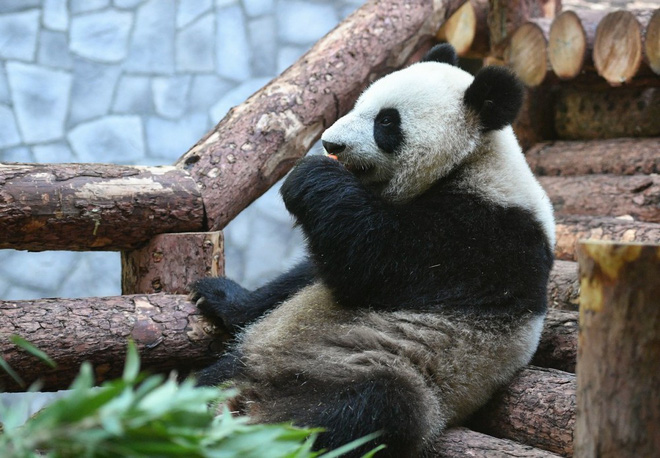 Lãnh đạo Nga - Trung ngoại giao gấu trúc tại vườn thú Matxcơva - Ảnh 3.