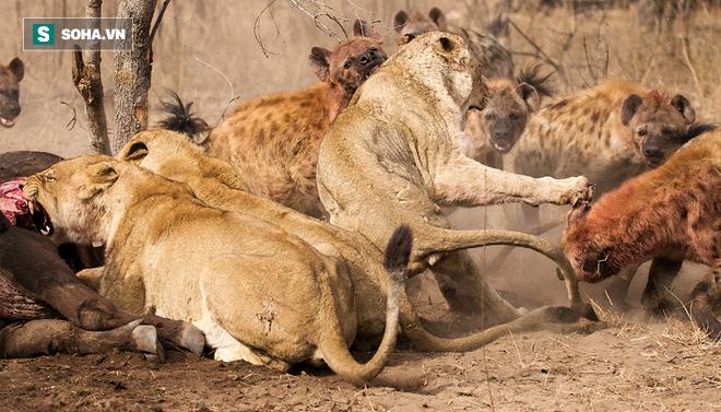 Linh cẩu phá đám giấc ngủ của sư tử trong đêm và cơn thịnh nộ của nhà vua - Ảnh 1.