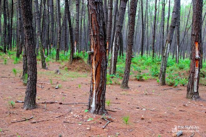 Nghệ An: Về nơi người dân đổ xô vào rừng nhặt thứ lá quý như vàng - Ảnh 1.