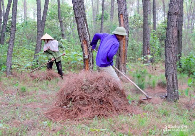 Nghệ An: Về nơi người dân đổ xô vào rừng nhặt thứ lá quý như vàng - Ảnh 2.