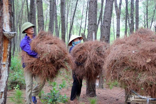 Nghệ An: Về nơi người dân đổ xô vào rừng nhặt thứ lá quý như vàng - Ảnh 3.