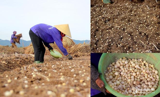 Nghệ An: Về nơi người dân đổ xô vào rừng nhặt thứ lá quý như vàng - Ảnh 8.