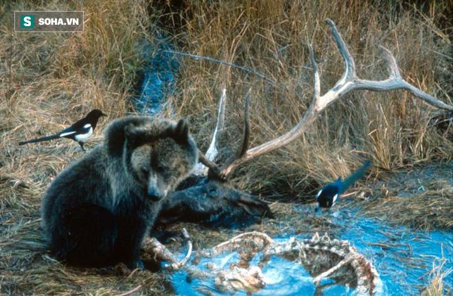 Chậm chân, nai sừng xám con bị gấu xám Bắc Mỹ sử dụng tuyệt kỹ săn mồi hạ sát - Ảnh 1.