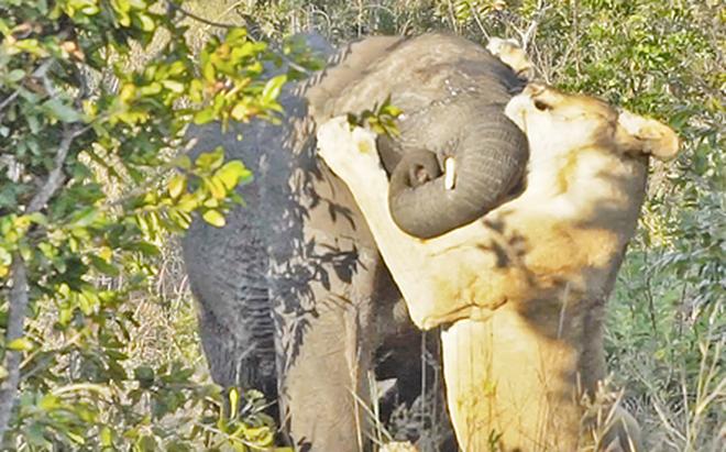 Sư tử cả gan một mình chiến đấu rồi suýt hạ gục cả một chú voi
