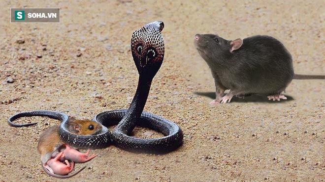 Chuột cống nhốt chung rắn hổ mang: Tưởng để làm mồi, ngờ đâu cắn nát đầu kẻ thù - Ảnh 1.