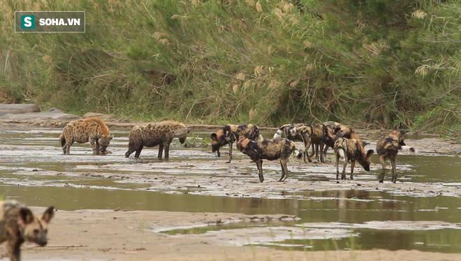 18 chó hoang tranh cướp con mồi với linh cẩu: Bên nào sẽ chiến thắng? - Ảnh 1.