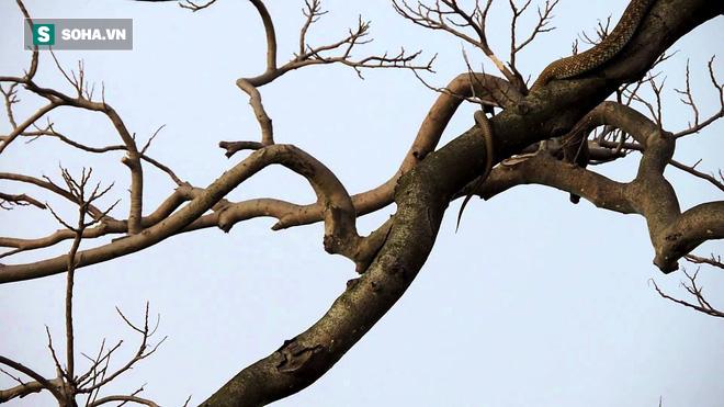 Rắn leo tận lên cây kiếm ăn, đụng mặt phụ huynh con mồi vẫn không đổi thái độ - Ảnh 1.