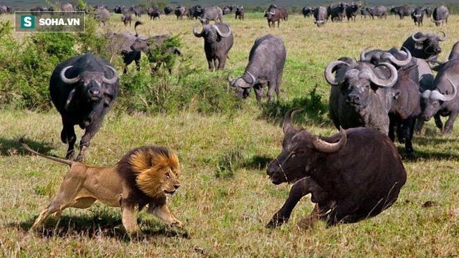 1 trâu rừng cân 2 sư tử đực: Vừa đuối sức đã nhận được sự trợ giúp khổng lồ - Ảnh 1.