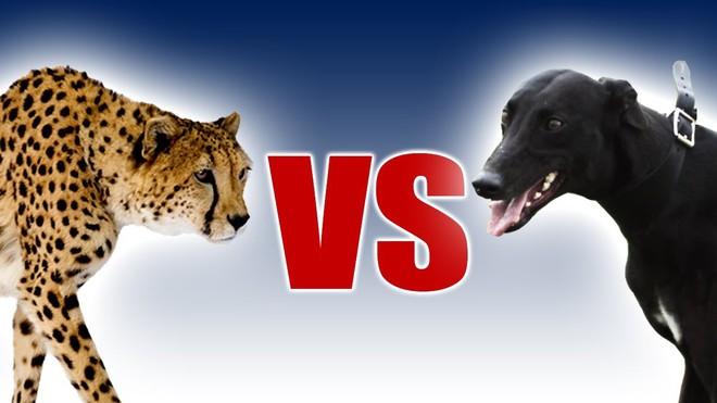 Đối mặt với cả chục con chó, báo săn có hùng mạnh thế nào cũng khó thoát chết - Ảnh 1.