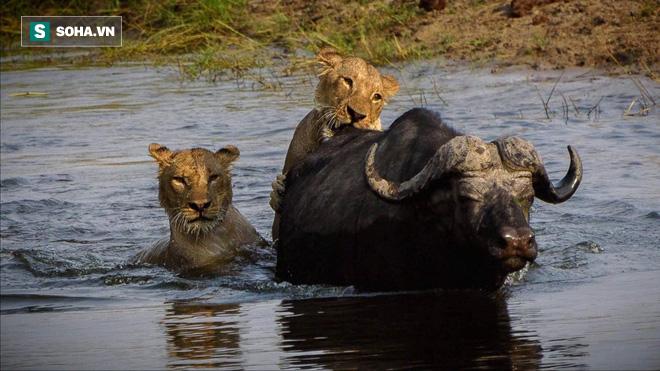 Sư tử vợ chồng phối hợp thiếu ăn ý, để trâu rừng phản kích lật ngược thế cờ - Ảnh 1.