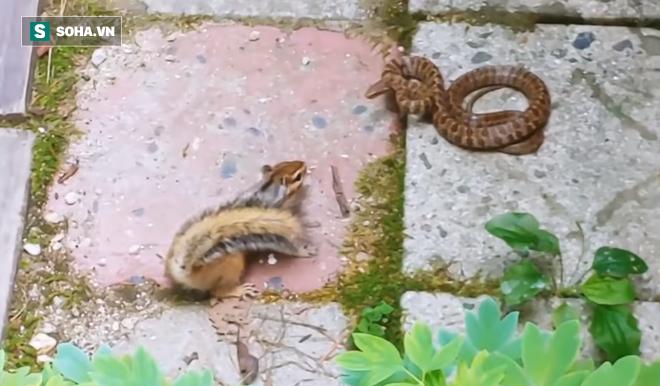 Con rắn đen đủi bị sóc chuột bám mãi không tha, cuối cùng phải bỏ mạng - Ảnh 1.