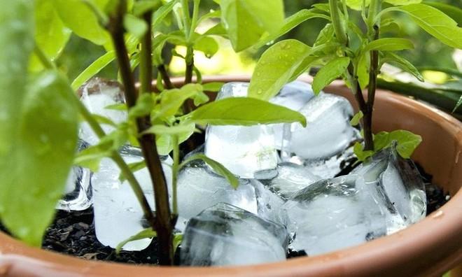 Mẹo hay: Tưới cây bằng đá lạnh - vừa nhàn vừa không lo cây bị khô héo hay ngập úng - Ảnh 5.
