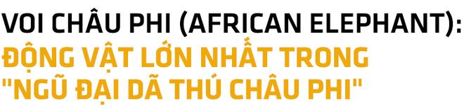 Ngũ đại dã thú châu Phi: Bí mật nguy hiểm của những loài động vật khổng lồ xứ hoang dã - Ảnh 7.