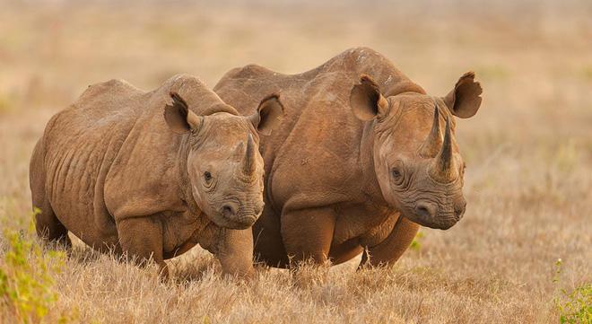 Ngũ đại dã thú châu Phi: Bí mật nguy hiểm của những loài động vật khổng lồ xứ hoang dã - Ảnh 11.