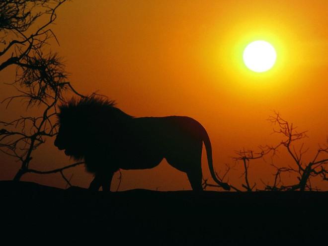 Ngũ đại dã thú châu Phi: Bí mật nguy hiểm của những loài động vật khổng lồ xứ hoang dã - Ảnh 4.