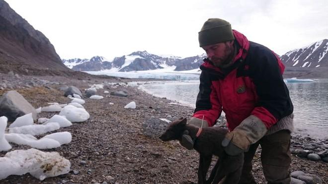 Cáo tuyết Bắc Cực lang thang hơn 4.000 cây số từ Na-Uy sang tận Canada: Lông từ trắng thành xám đen, tưởng hư cấu mà có thật 100% - Ảnh 1.