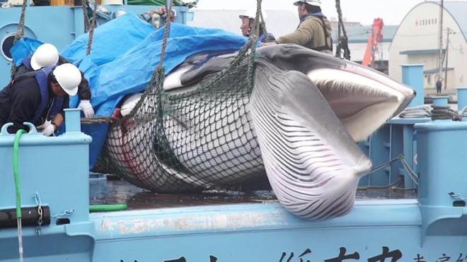 Sau 31 năm, Nhật Bản cho phép săn bắt cá voi thương mại trở lại: Bất chấp phản đối để nỗ lực hồi sinh ngành công nghiệp đang hấp hối? - Ảnh 1.