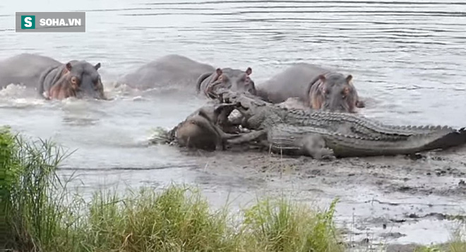 Bị cá sấu tóm được, linh dương thoát chết nhờ bầy hà mã lao đến giải cứu - Ảnh 1.