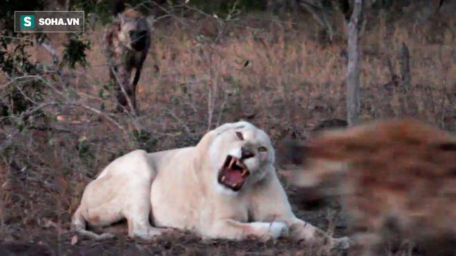 Sư tử trắng bị 11 linh cẩu bao vây: Triệu Tử Long có đột phá được vòng vây địch? - Ảnh 2.