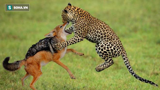 Không mời mà đến bữa tiệc thịnh soạn, chó sói bị báo hoa mai giết chết - Ảnh 1.
