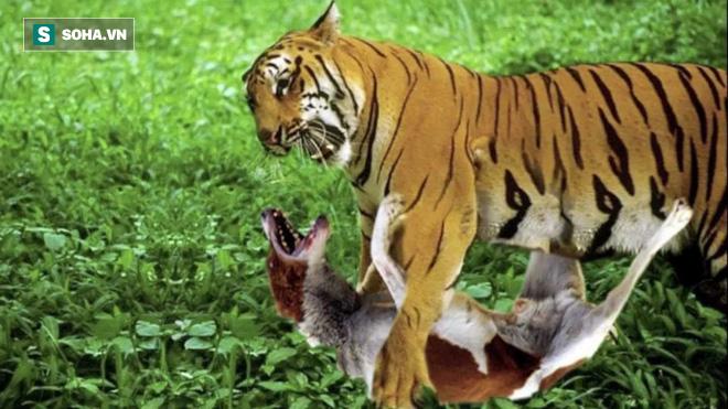 Hổ đứng yên như tượng đá khiến chó hoang vỡ mật vì suýt đâm đầu vào - Ảnh 1.