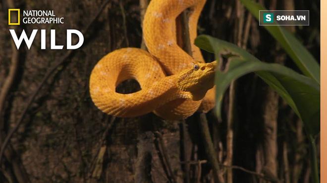 Ẩn mình trong màn đêm, rắn độc giơ răng nanh sắc nhọn tóm gọn con mồi - Ảnh 1.