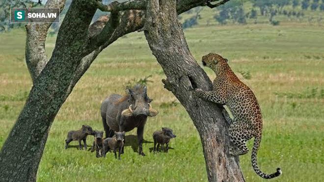Tình huống khó đỡ: Báo bám chặt cây, run lẩy bẩy vì bị lợn bướu truy đuổi - ảnh 1