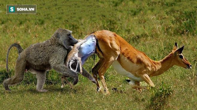 Mất con, linh dương mẹ có hành động điên rồ khiến bầy khỉ đầu chó một phen hoảng loạn - Ảnh 1.