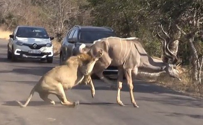Sư tử đực phô diễn sức mạnh, hạ gục linh dương ngay trước mặt du khách