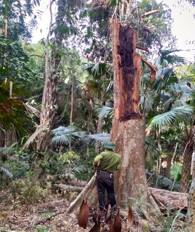 Phát hiện vụ chặt phá rừng lớn ở Vườn Quốc gia Pù Mát - Ảnh 2.