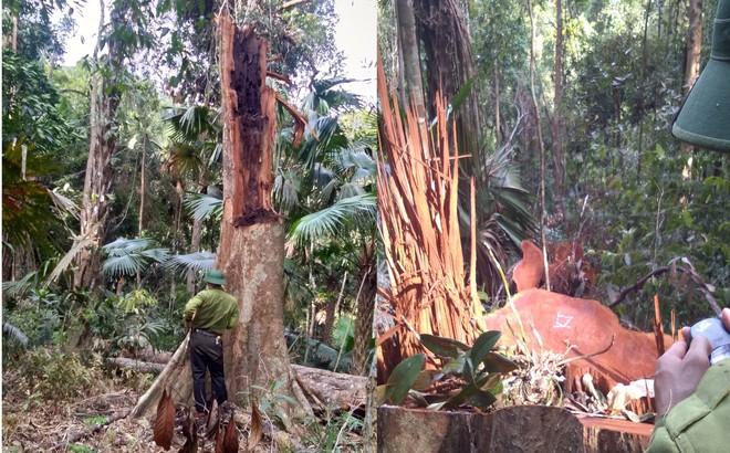 Phát hiện vụ chặt phá rừng lớn ở Vườn Quốc gia Pù Mát