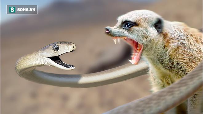 Cầy Mangut đối đầu rắn Mamba đen độc bậc nhất thế giới và cái kết bất ngờ - Ảnh 1.