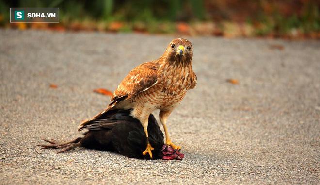 Chim cắt vào chuồng gà định kiếm chác, ngờ đâu bị vặt lông tới chết - Ảnh 1.