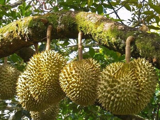 8 ưu điểm vượt trội khiến cho sầu riêng được đặt mỹ danh là nữ hoàng trái cây nhiệt đới - Ảnh 4.