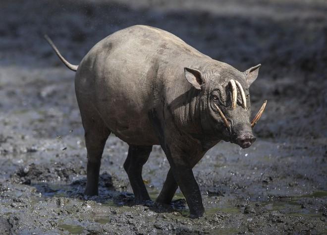 Cuộc chiến ác liệt của loài động vật kỳ lạ mang tên lợn hươu - ảnh 1