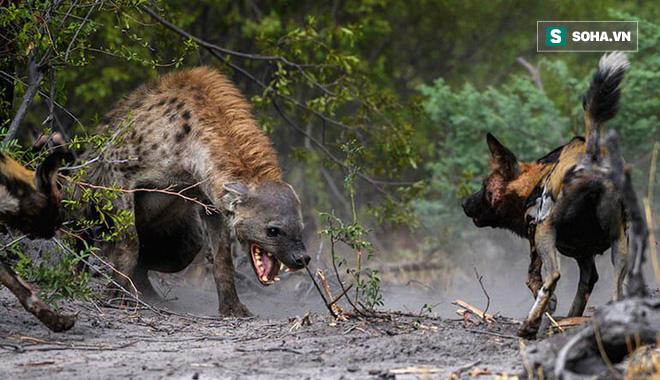 Bị linh cẩu cướp bữa ăn: Bầy chó hoang trút cơn thịnh nộ lên kẻ chậm chân - Ảnh 1.