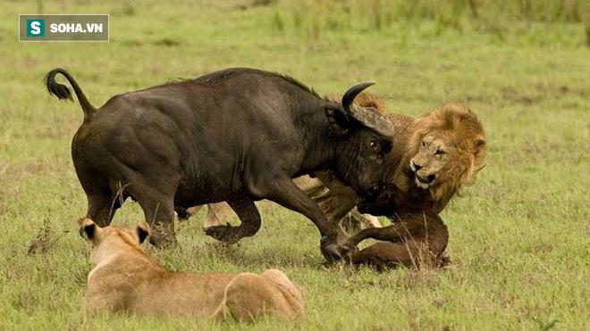 Bị bao vây tứ phía, trâu mẹ dũng mãnh bảo vệ con non khiến sư tử khiếp vía - Ảnh 1.
