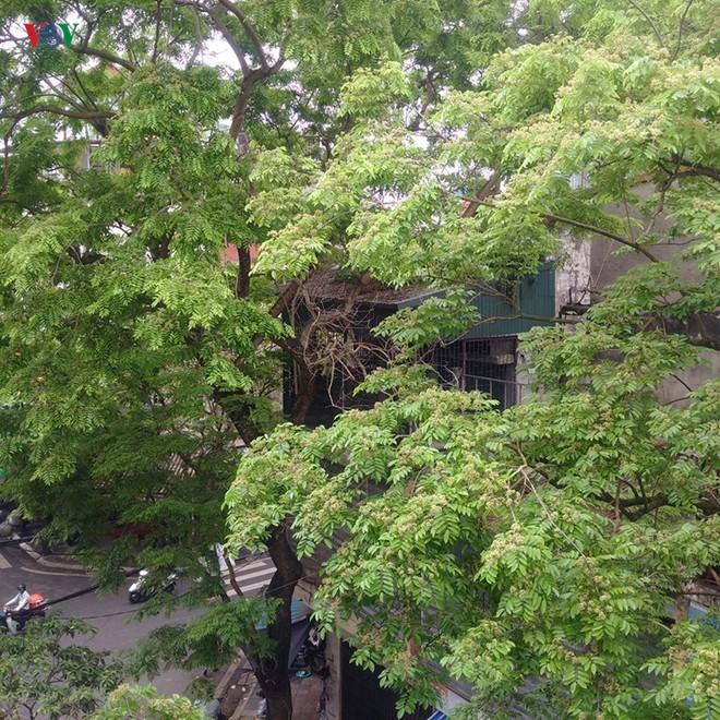Cây sưa lớn giữa phố cổ Hà Nội bị chặt hạ trong đêm không rõ lý do - Ảnh 2.