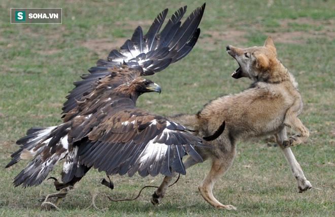 Chó sói vùng vẫy bất lực dưới nanh vuốt cặp đại bàng vàng dũng mãnh - Ảnh 1.