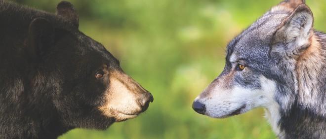 Chó sói vất vả quần nhau với gấu đen để cứu sống lũ trẻ - Ảnh 1.
