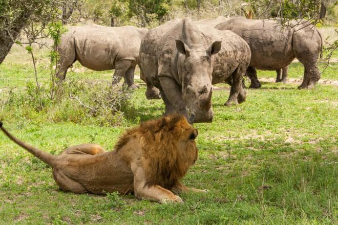Đang phơi nắng thì bị tê giác cà khịa, vợ chồng sư tử cũng đành cúp đuôi chạy - Ảnh 1.