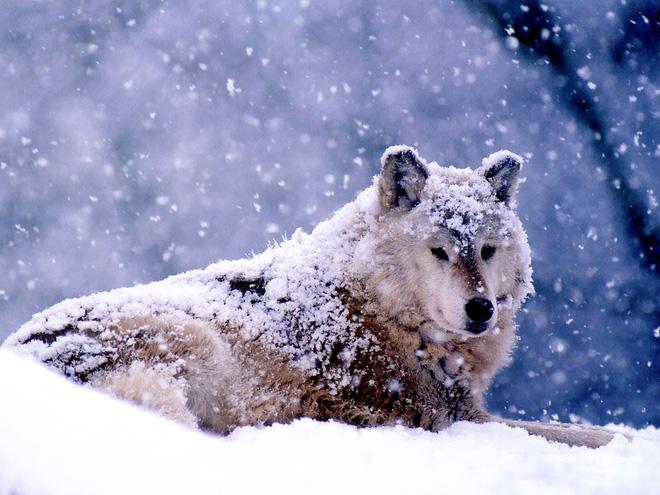 Nhốt con sói săn được ở ngoài vườn trong đêm bão, hôm sau, người đàn ông kinh ngạc trước cảnh tượng nhìn thấy - Ảnh 1.