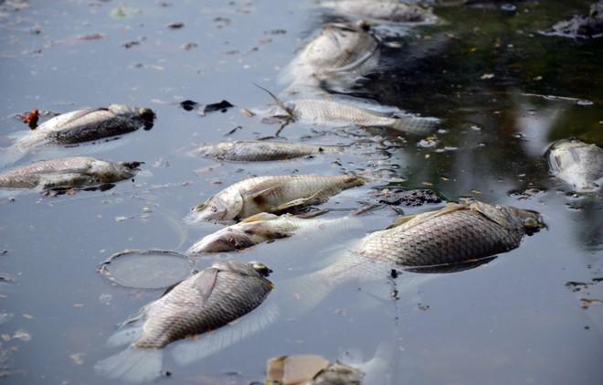 [Ảnh] Cá chết nổi trắng hồ Trúc Bạch, dân bỏ thói quen thể dục quanh hồ, quán xá thưa thớt khách - Ảnh 3.