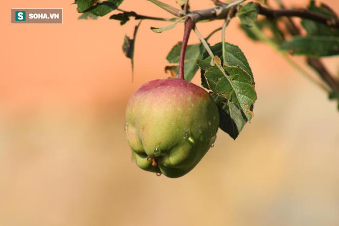 Mỗi quả táo bao phủ tới 10 triệu vi khuẩn: Những loại táo khác nhau có tác động khác nhau - Ảnh 1.