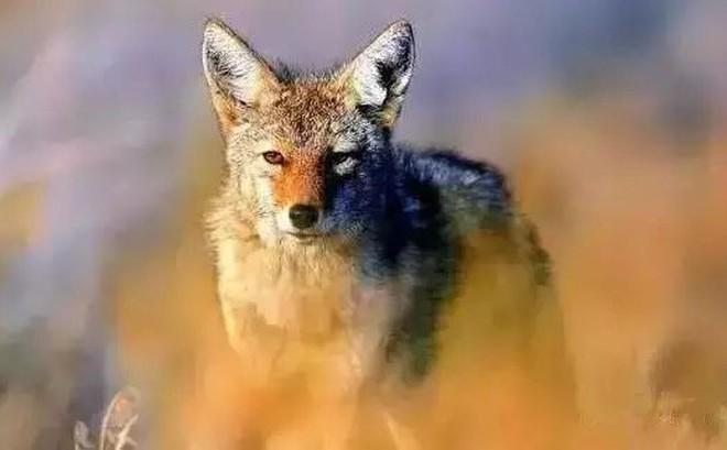 Nhốt con sói săn được ở ngoài vườn trong đêm bão, hôm sau, người đàn ông kinh ngạc trước cảnh tượng nhìn thấy