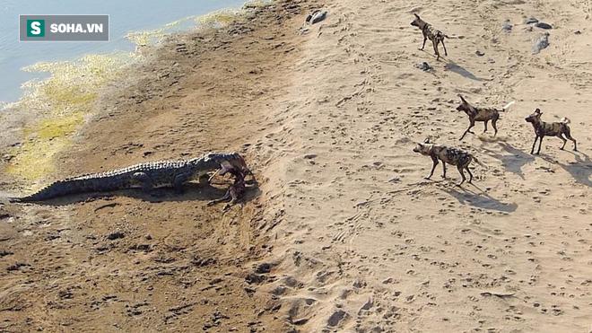 Cả bầy chó hoang bị 1 con cá sấu hớt tay trên mà chỉ biết bất lực đứng nhìn - Ảnh 1.