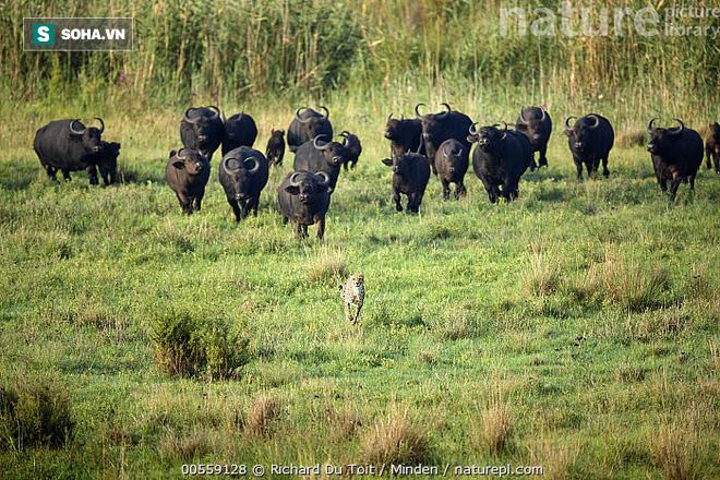 Đang uống nước, báo săn bị những bóng đen âm thầm tiến tới và bao vây - Ảnh 1.