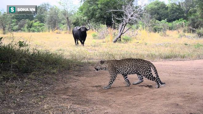 Báo chơi lớn săn cả trâu rừng, sư tử rình mò phía sau và kết thúc đầy bất ngờ - Ảnh 1.